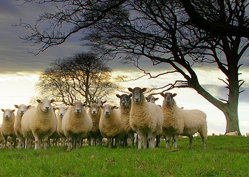 sheep - sacrifices