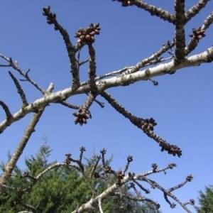 Cherry Tree with Buds